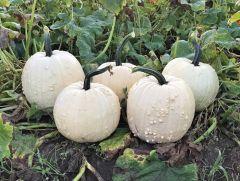 Specter (Hybrid Pumpkin)