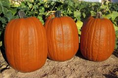 Early Giant (Hybrid Pumpkin)