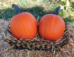 Mischief (Hybrid Pumpkin)