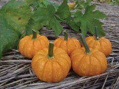 Crunchkin (Hybrid Pumpkin)