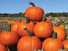 Rhea (Hybrid Pumpkin)