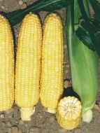 Colorow TSW® (SE corn, hybrid, yellow)