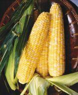 Kristine Synergystic (corn, hybrid, bicolor)