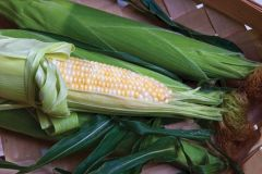 Profit Synergystic (corn, hybrid, bicolor)