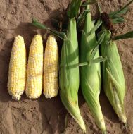 Exhiliration Synergystic (Corn/hybrid/bicolor)