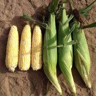 Exhiliration Synergystic (Corn/hybrid/bicolor)