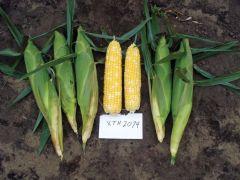 Gourmet Sweet™ Brand XTH2074 (Corn, hybrid, bicolor)