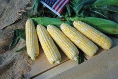 Gourmet Sweet Brand American Dream (Hybrid, bicolor, untreated)