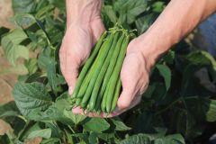 Wyatt (Green Beans Bush)