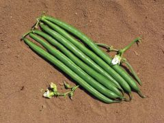 Sybaris (Green Beans Bush)