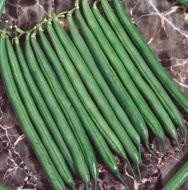 Caprice (Green Beans Bush)