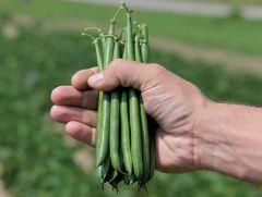 Aldrin (Green Beans Bush)