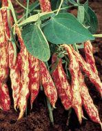 Teggia (Novelty Bean/Horticultural)