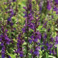 Starship™ Blue (Lobelia Pellets)