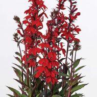 Starship™ Scarlet Bronze Leaf (Lobelia Pellets)