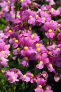 Poetry™ Deep Pink (Nemesia)