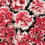 Pirouette Red (Petunia/double/pelleted)