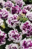 Pirouette Purple (Petunia/double/pelleted)