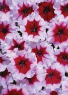 Celebrity Burgundy Frost (Petunia/multiflora/pelleted)