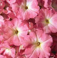 Celebrity Chiffon Morn (Petunia/multiflora/pelleted)