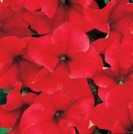 Dreams Red (Petunia/grandiflora/pellets)