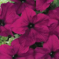 Dreams Burgundy (Petunia/grandiflora/pellets)