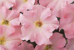 Dreams Appleblossom (Petunia/grandiflora/pellets)