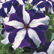 TriTunia Blue Star (Petunia/grandiflora/pelleted)