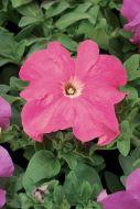 TriTunia Pink (Petunia/grandiflora/pelleted)