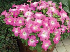TriTunia Pink Morn (Petunia/grandiflora/pelleted)