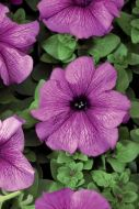 TriTunia Plum (Petunia/grandiflora/pelleted)