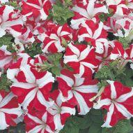 TriTunia Red Star (Petunia/grandiflora/pelleted)
