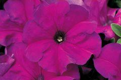 TriTunia Violet (Petunia/grandiflora/pelleted)