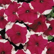 Dreams Rose Picotee (Petunia pellets/grandiflora)