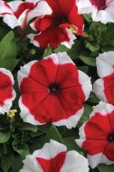 Dreams Red Picotee (Petunia/grandiflora/pellets)