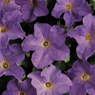 Dreams Sky Blue (Petunia/grandiflora/pellets)