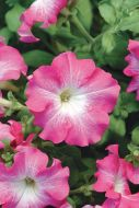 Dreams Rose Morn (Petunia/grandiflora/pellets)