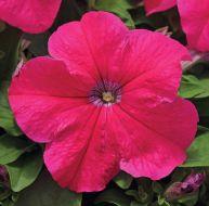 EZ Rider Rose (Petunia/grandiflora/pelleted)