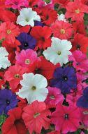 EZ Rider Mix (Petunia/grandiflora/pelleted)