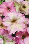 Sophistica® Antique Shades (Petunia/grandiflora/pelleted)