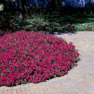 Tidal Wave® Cherry (Petunia/multiflora/pelleted)