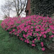 Tidal Wave® Hot Pink (Petunia/multiflora/pelleted)