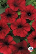 Tidal Wave Red Velour (Petunia/pelleted)