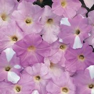 Misty Lilac Wave® (Petunia/multiflora/pelleted)