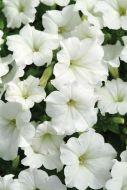 Easy Wave® White (Petunia/multiflora/pelleted)