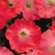 Easy Wave® Rosy Dawn (Petunia/multiflora/pelleted)