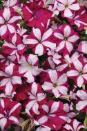 Easy Wave® Burgundy Star (Petunia/multiflora/pelleted)