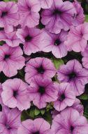 Easy Wave® Plum Vein (Petunia/multiflora/pelleted)