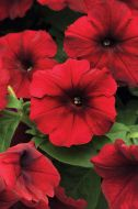Easy Wave Red Velour (Petunia/pelleted)