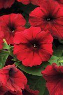 Easy Wave Red Velour (Petunia/pelleted)